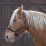 Licol NORTON PRO pour cheval de trait